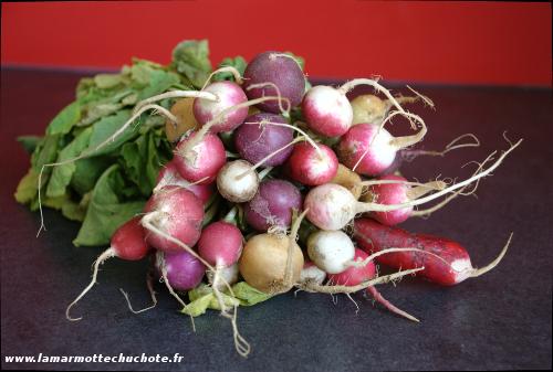 Botte de radis de couleur