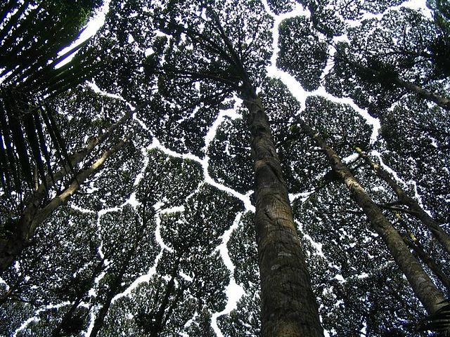 640px-Dryobalanops_Aromatica_canopy