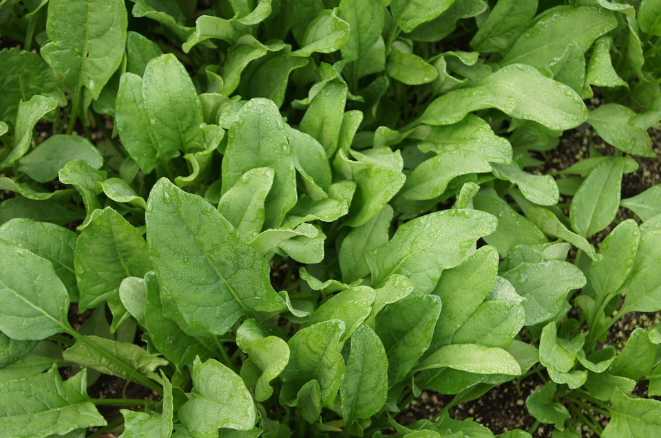 spinach-506616_960_720