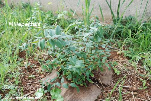 oranger du mexique choisya ternata